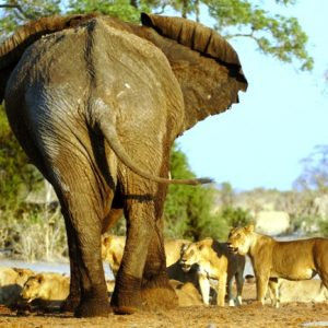 Lion Vs Elephant