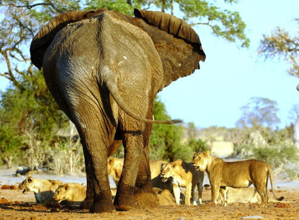 Lions Vs Elephants - Clip from the National Geographic ... Lion Vs Elephant